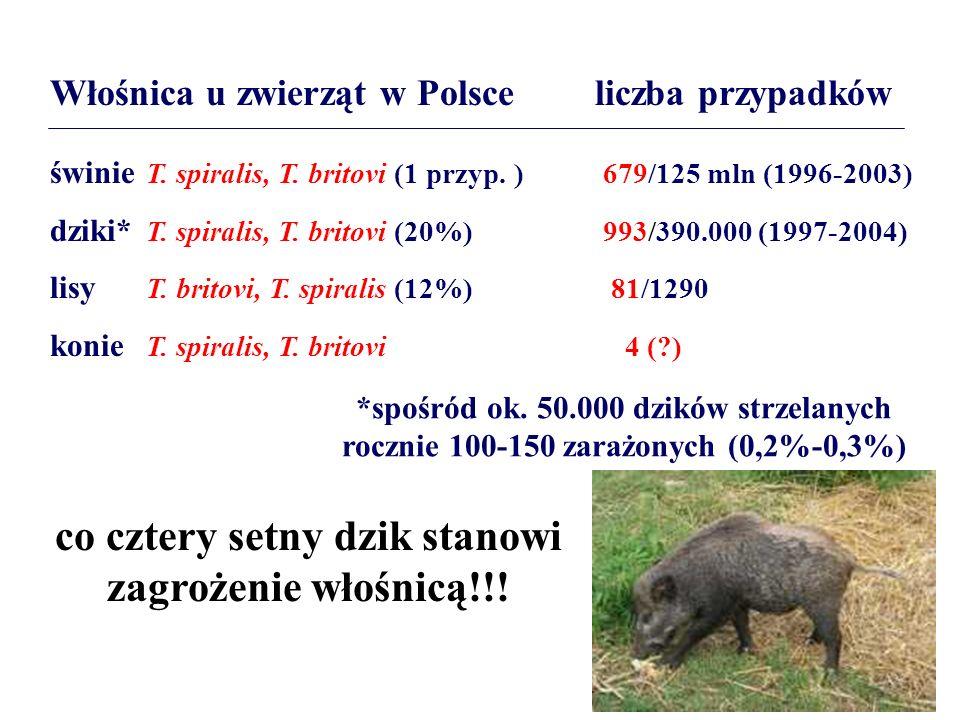 Włośnica u zwierząt w Polsce liczba przypadków świnie T. spiralis, T. britovi (1 przyp. ) 679/125 mln (1996-2003) dziki* T. spiralis, T. britovi (20%)