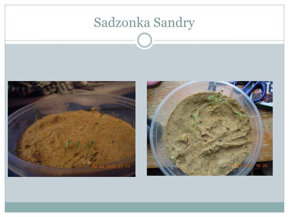 Sadzonka Sandry