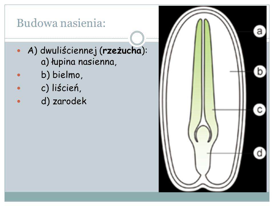 Budowa nasienia: A) dwuliściennej (rzeżucha): a) łupina nasienna, b) bielmo, c) liścień, d) zarodek