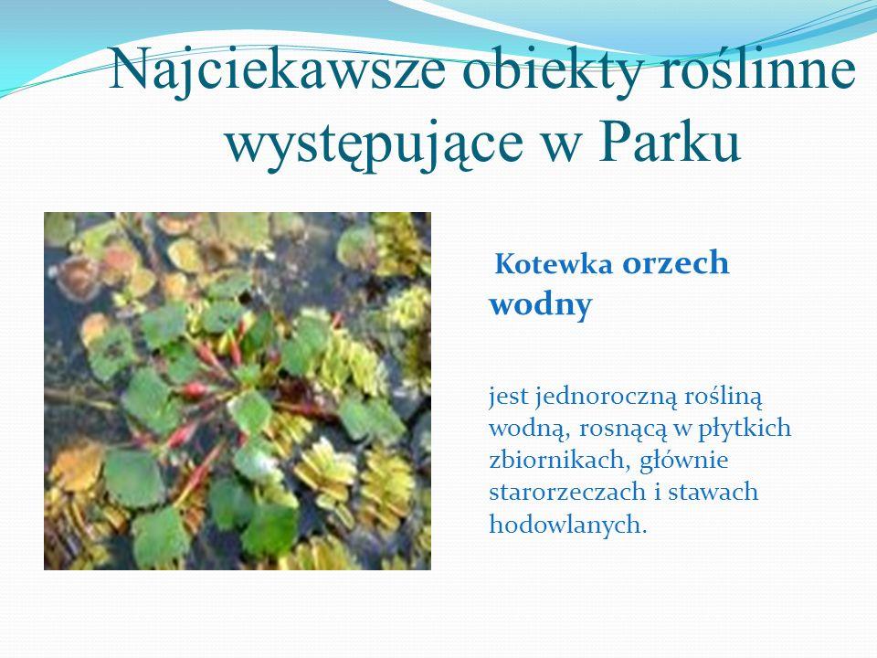 Najciekawsze obiekty roślinne występujące w Parku Kotewka orzech wodny jest jednoroczną rośliną wodną, rosnącą w płytkich zbiornikach, głównie starorz