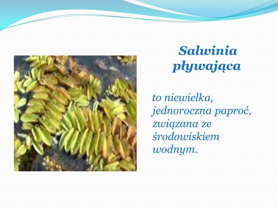 Salwinia pływająca to niewielka, jednoroczna paproć, związana ze środowiskiem wodnym.