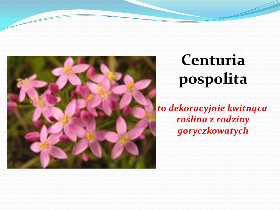 Centuria pospolita to dekoracyjnie kwitnąca roślina z rodziny goryczkowatych