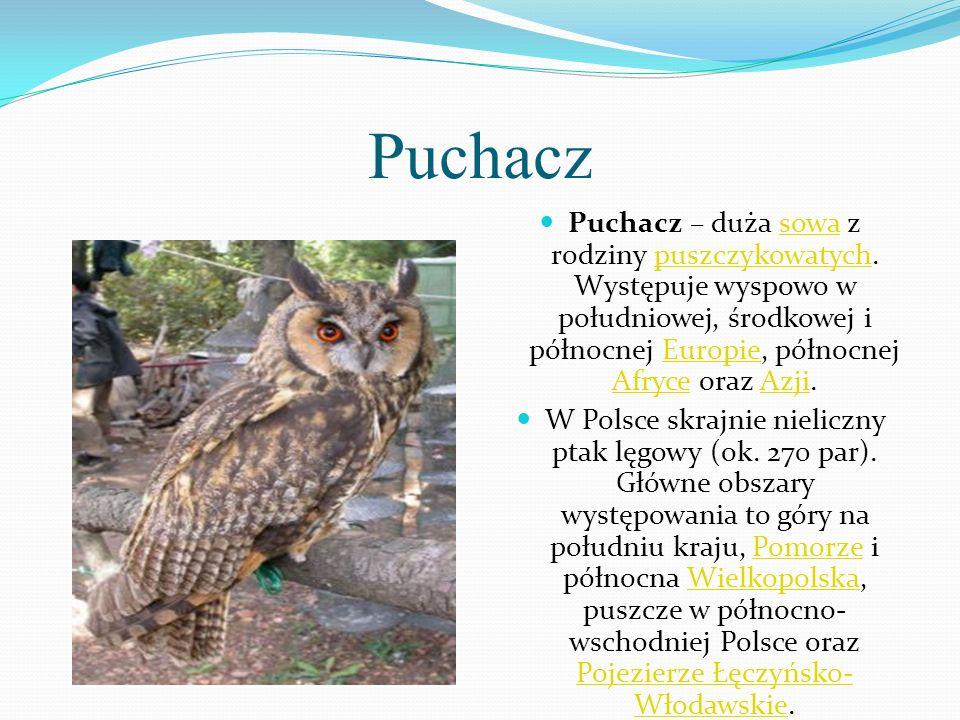 Puchacz Puchacz – duża sowa z rodziny puszczykowatych. Występuje wyspowo w południowej, środkowej i północnej Europie, północnej Afryce oraz Azji.sowa