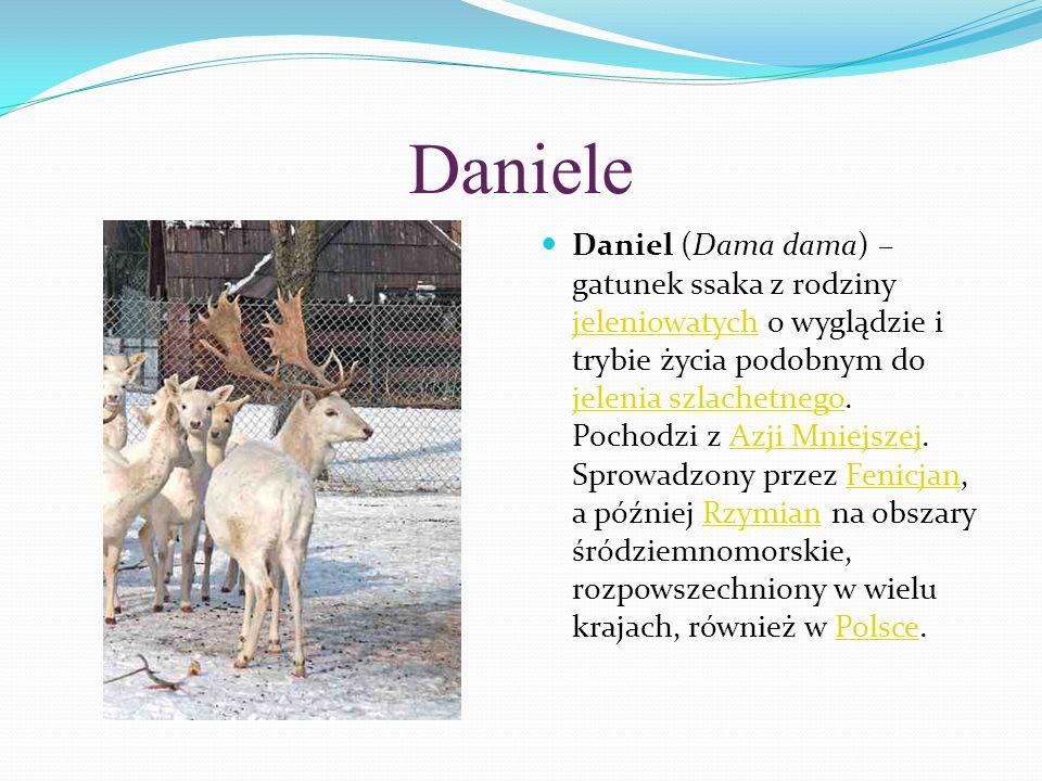 Daniele Daniel (Dama dama) – gatunek ssaka z rodziny jeleniowatych o wyglądzie i trybie życia podobnym do jelenia szlachetnego. Pochodzi z Azji Mniejs