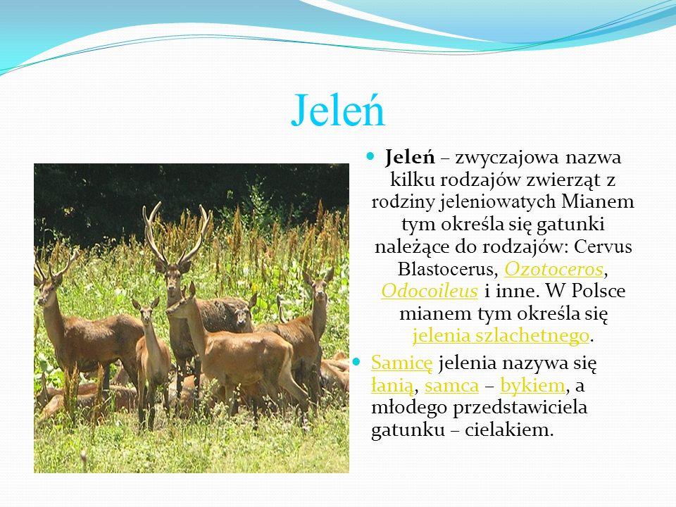 Jeleń Jeleń – zwyczajowa nazwa kilku rodzajów zwierząt z rodziny jeleniowatych Mianem tym określa się gatunki należące do rodzajów: Cervus Blastocerus