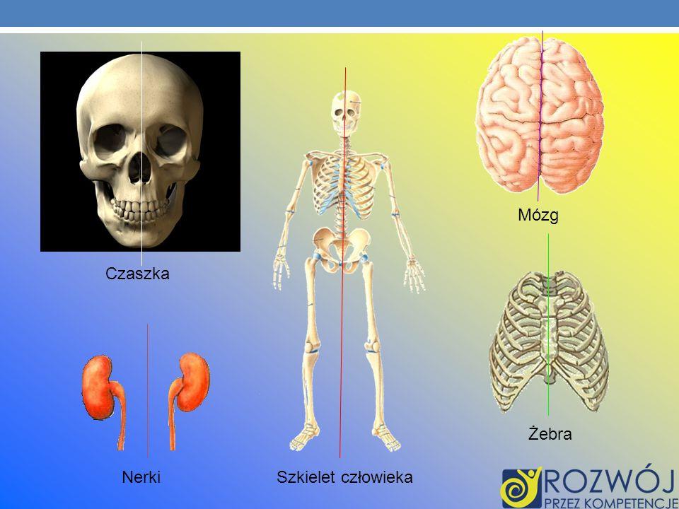 Czaszka Mózg Szkielet człowieka Żebra Nerki