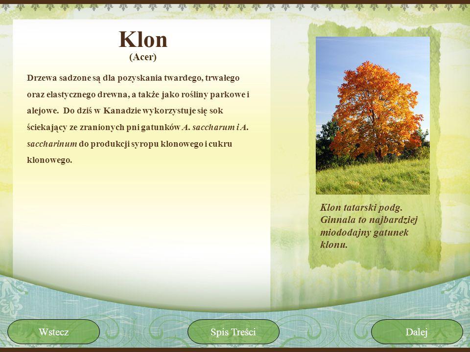 Klon Drzewa sadzone są dla pozyskania twardego, trwałego oraz elastycznego drewna, a także jako rośliny parkowe i alejowe. Do dziś w Kanadzie wykorzys
