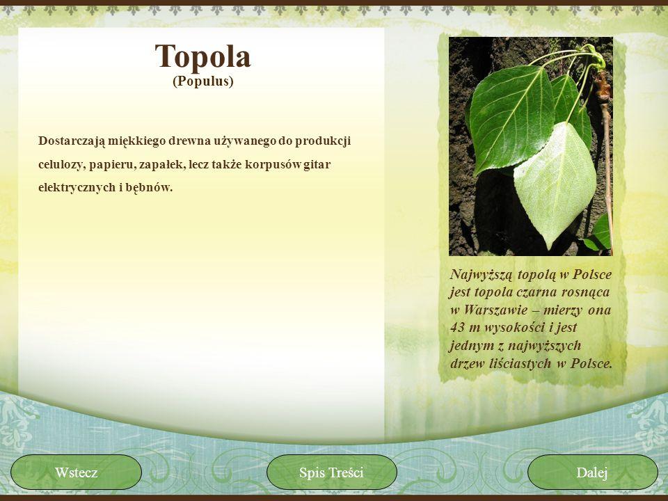 Topola Dostarczają miękkiego drewna używanego do produkcji celulozy, papieru, zapałek, lecz także korpusów gitar elektrycznych i bębnów. (Populus) Naj
