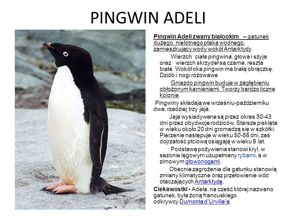 PINGWIN ADELI Pingwin Adeli zwany białookim – gatunek dużego, nielotnego ptaka wodnego, zamieszkujący wody wokół Antarktydy. Wierzch ciała pingwina, g