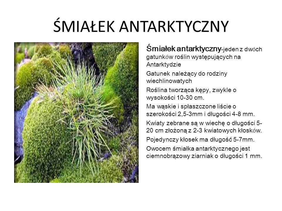 ŚMIAŁEK ANTARKTYCZNY Śmiałek antarktyczny -jeden z dw ó ch gatunk ó w roślin występujących na Antarktydzie Gatunek należący do rodziny wiechlinowatych