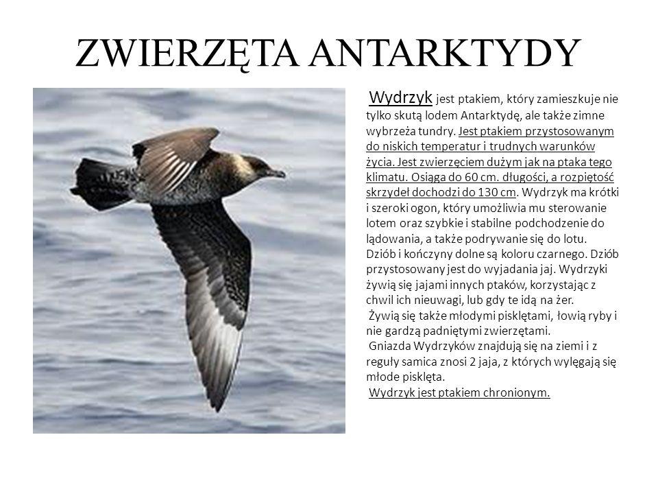 ZWIERZĘTA ANTARKTYDY Wydrzyk jest ptakiem, który zamieszkuje nie tylko skutą lodem Antarktydę, ale także zimne wybrzeża tundry. Jest ptakiem przystoso