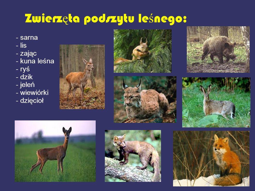 Zwierz ę ta podszytu le ś nego: - sarna - lis - zając - kuna leśna - ryś - dzik - jeleń - wiewiórki - dzięcioł