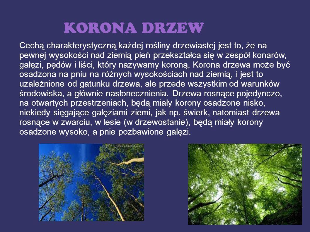 KORONA DRZEW Cechą charakterystyczną każdej rośliny drzewiastej jest to, że na pewnej wysokości nad ziemią pień przekształca się w zespół konarów, gał