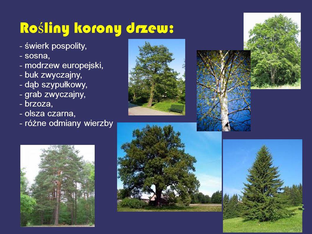 Ro ś liny korony drzew: - świerk pospolity, - sosna, - modrzew europejski, - buk zwyczajny, - dąb szypułkowy, - grab zwyczajny, - brzoza, - olsza czar