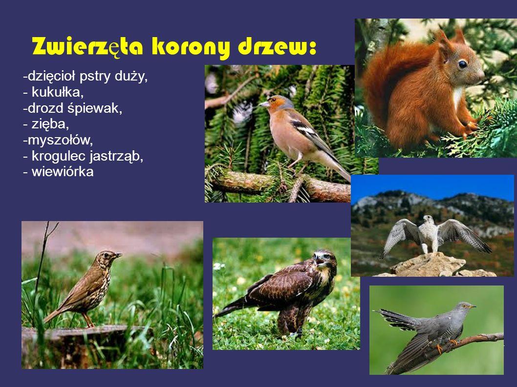 Zwierz ę ta korony drzew: -dzięcioł pstry duży, - kukułka, -drozd śpiewak, - zięba, -myszołów, - krogulec jastrząb, - wiewiórka
