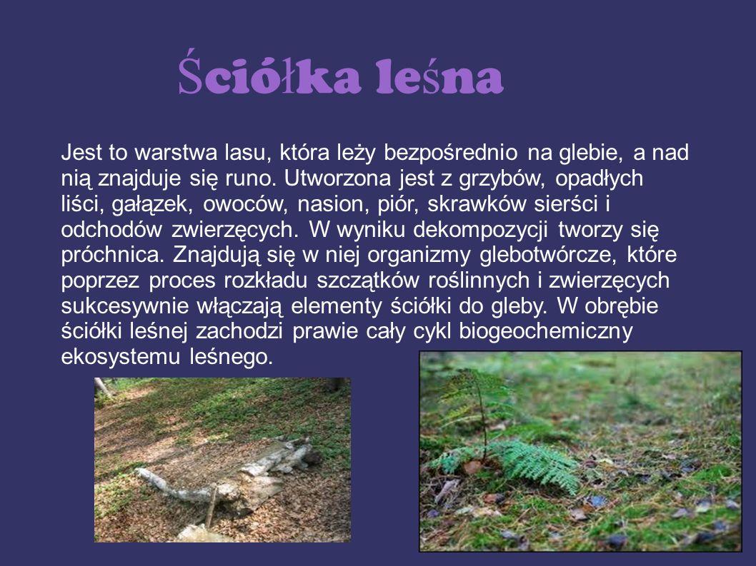 Ś ció ł ka le ś na Jest to warstwa lasu, która leży bezpośrednio na glebie, a nad nią znajduje się runo. Utworzona jest z grzybów, opadłych liści, gał