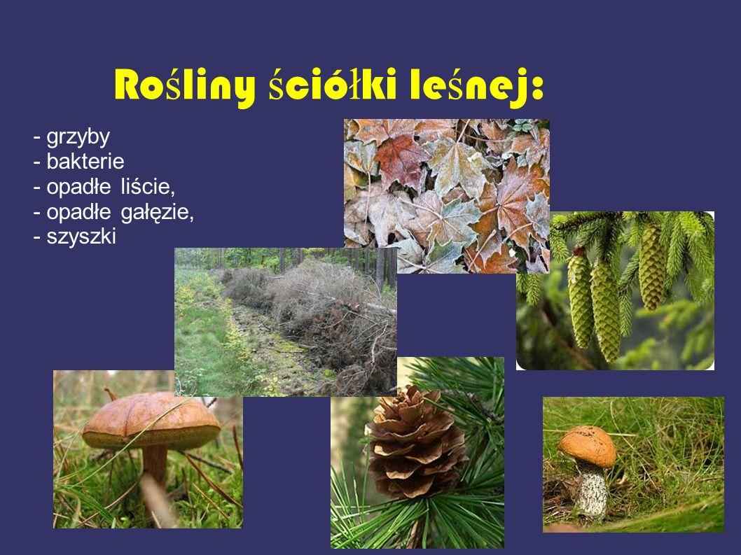Ro ś liny ś ció ł ki le ś nej: - grzyby - bakterie - opadłe liście, - opadłe gałęzie, - szyszki
