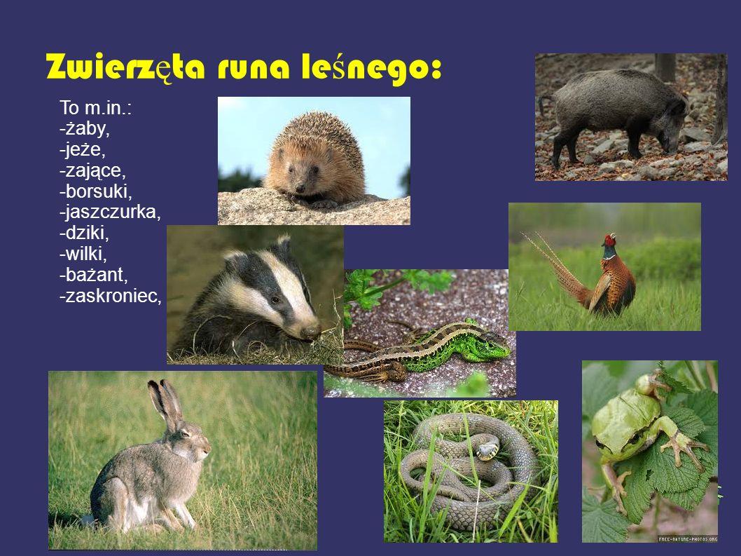 Zwierz ę ta runa le ś nego: To m.in.: -żaby, -jeże, -zające, -borsuki, -jaszczurka, -dziki, -wilki, -bażant, -zaskroniec,