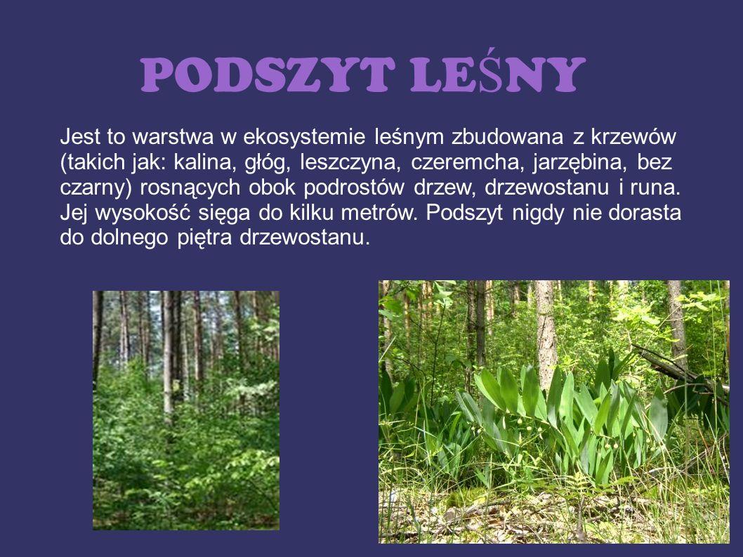 PODSZYT LE Ś NY Jest to warstwa w ekosystemie leśnym zbudowana z krzewów (takich jak: kalina, głóg, leszczyna, czeremcha, jarzębina, bez czarny) rosną