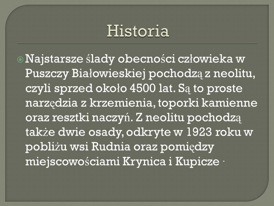 Najstarsze ś lady obecno ś ci cz ł owieka w Puszczy Bia ł owieskiej pochodz ą z neolitu, czyli sprzed oko ł o 4500 lat. S ą to proste narz ę dzia z kr