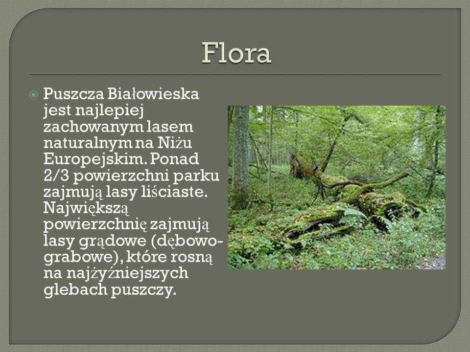 Puszcza Bia ł owieska jest najlepiej zachowanym lasem naturalnym na Ni ż u Europejskim. Ponad 2/3 powierzchni parku zajmuj ą lasy li ś ciaste. Najwi ę