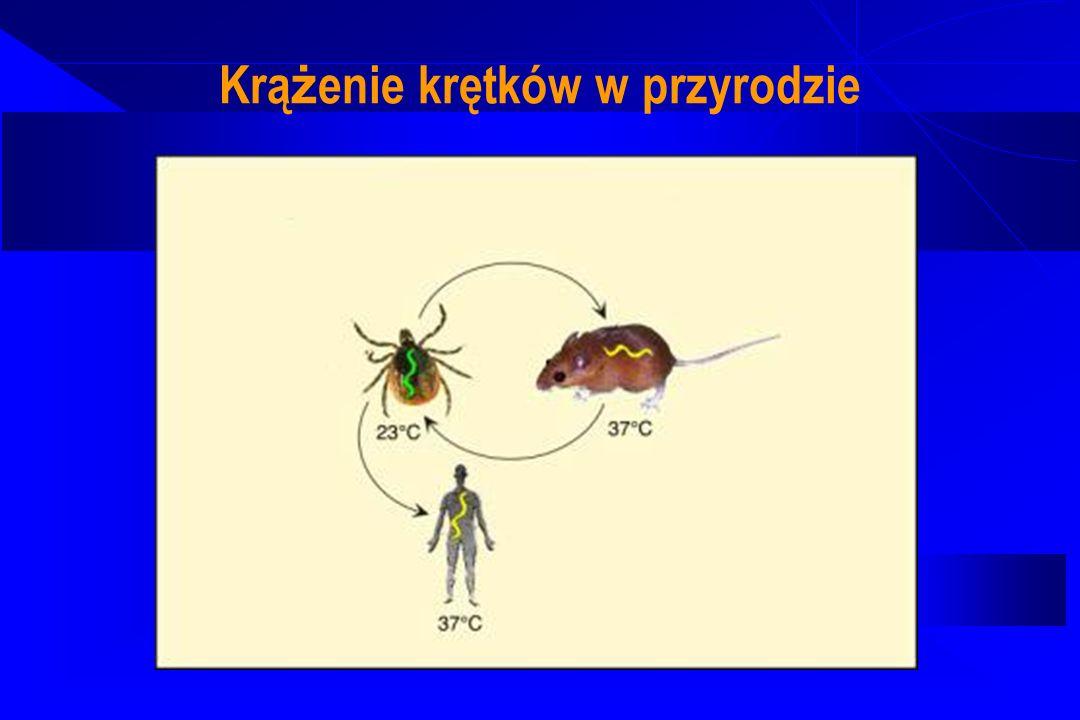 Patogeneza Boreliozy z Lyme Rozprzestrzenienie się miejscowo w skórze Drogą krwi i chłonki dostaja się do różnych narządów (tropizm narządowy gatunków) W stawach - odpowiedź immunologiczna prowadząca do rozpoznawania białek niskocząsteczkowych krętka przez makrofagi, synteza cytokin prozapalnych, tworzenie nacieków zapalnych W OUN – przyleganie krętków do komórek glejowych, zmiany w istocie białej