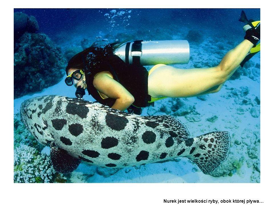 Nurek jest wielkości ryby, obok której pływa…