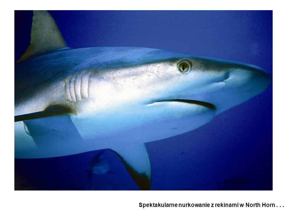 Spektakularne nurkowanie z rekinami w North Horn...
