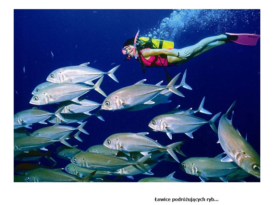 Ławice podróżujących ryb…