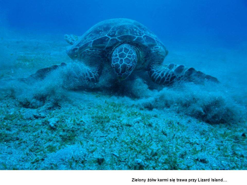 Zielony żółw karmi się trawa przy Lizard Island…