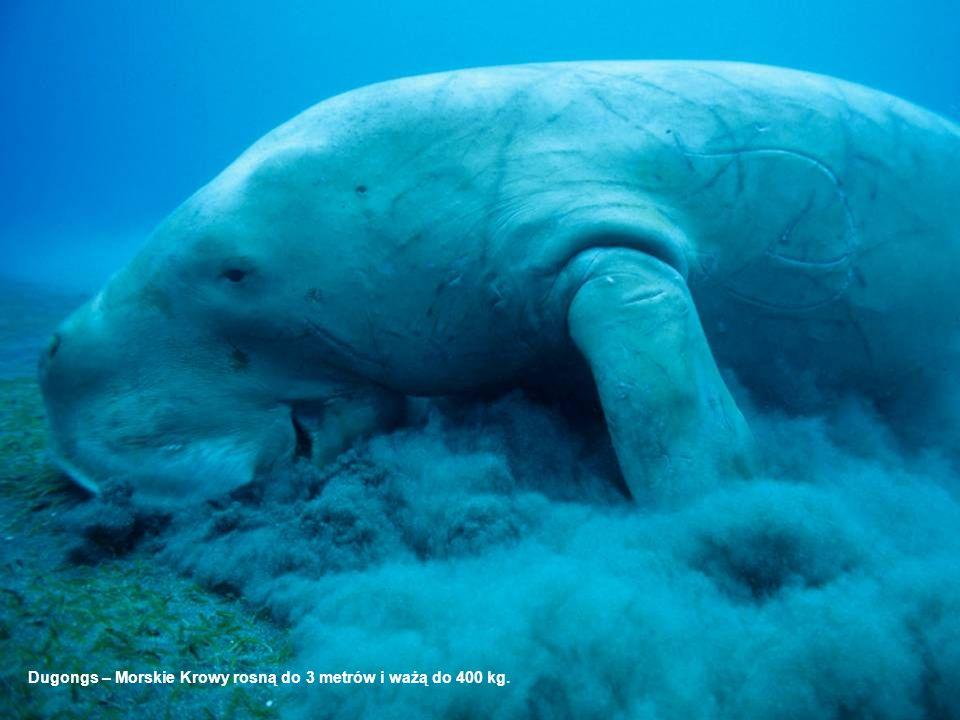 Dugongs – Morskie Krowy rosną do 3 metrów i ważą do 400 kg.