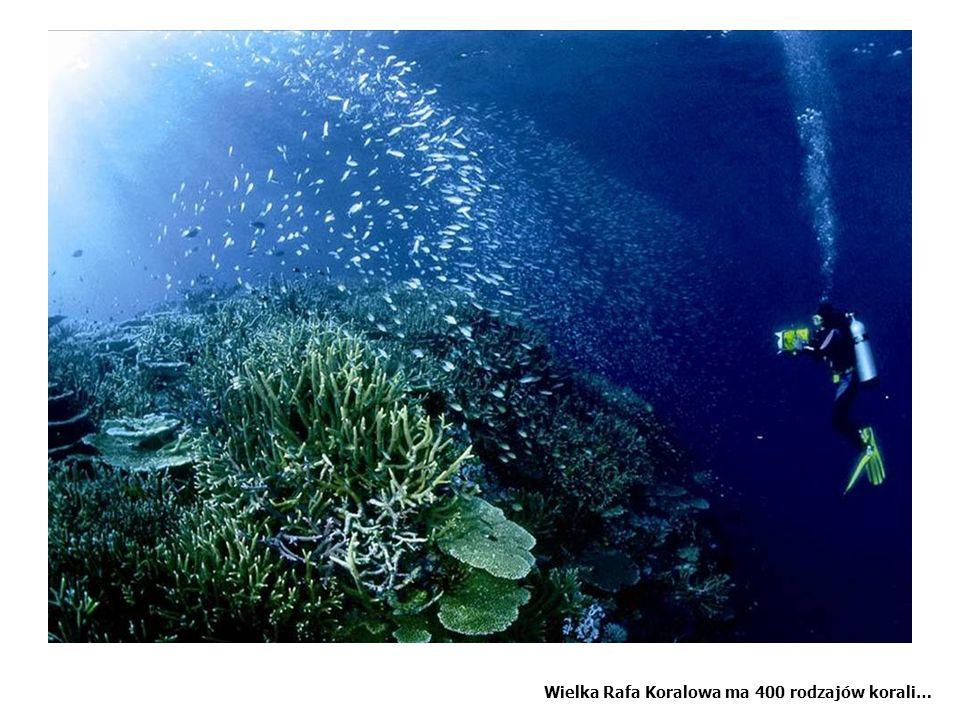Wielka Rafa Koralowa ma 400 rodzajów korali…