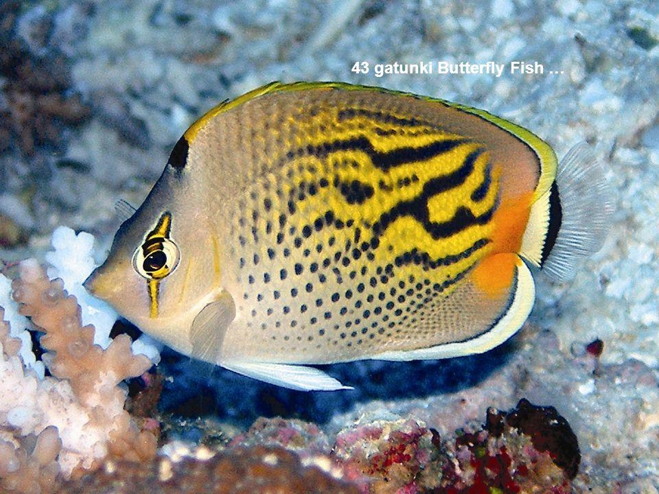 43 gatunki Butterfly Fish …