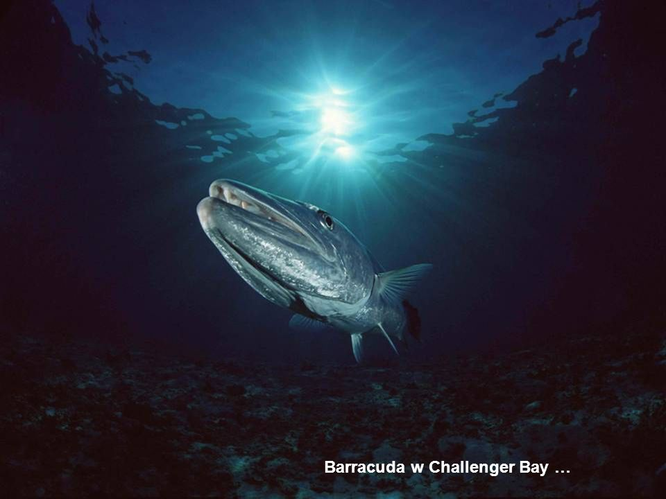 Barracuda w Challenger Bay …