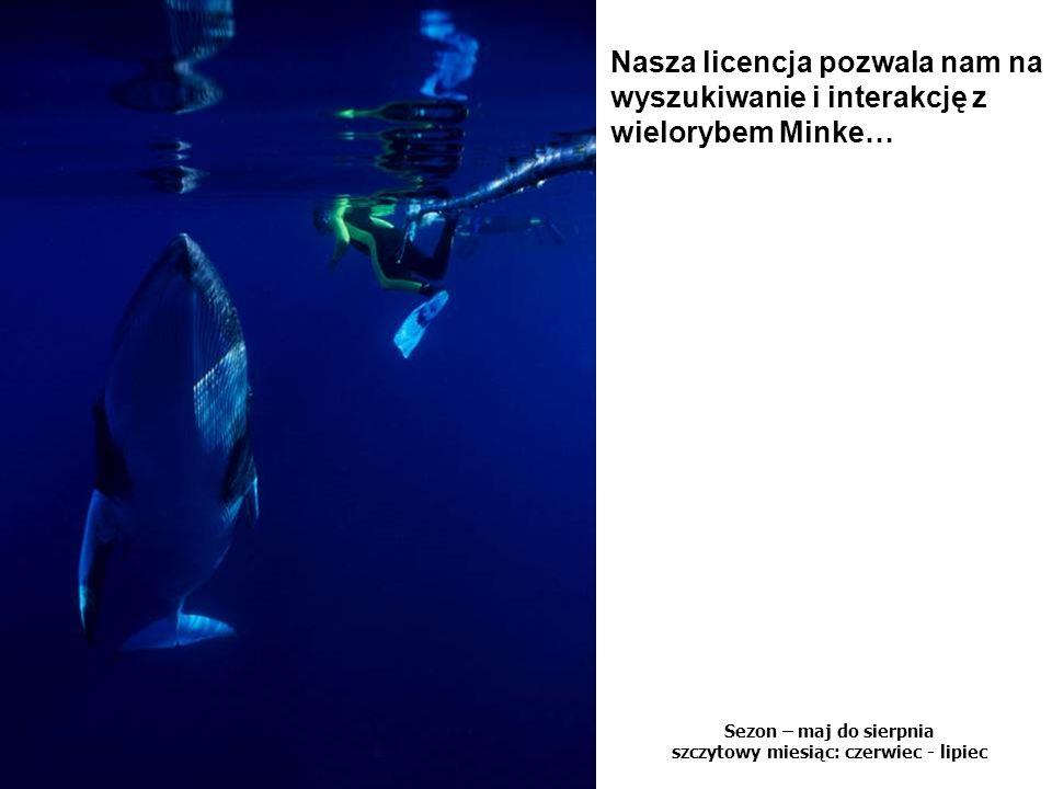 Sezon – maj do sierpnia szczytowy miesiąc: czerwiec - lipiec Nasza licencja pozwala nam na wyszukiwanie i interakcję z wielorybem Minke…