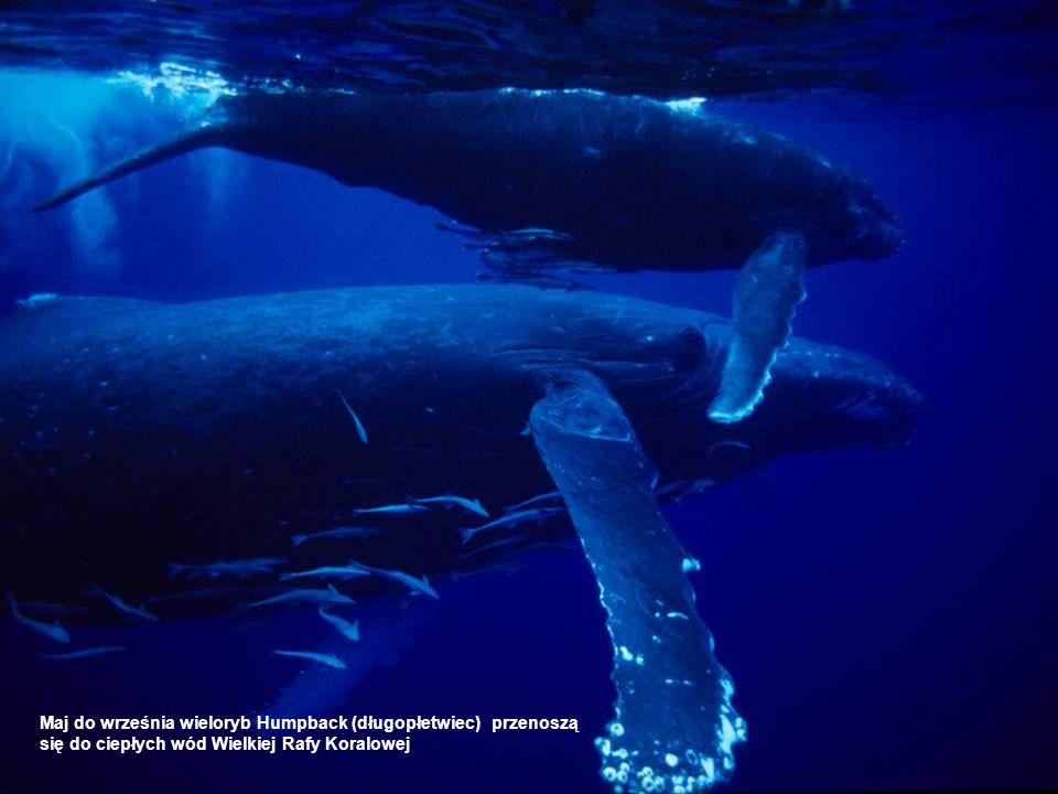 Maj do września wieloryb Humpback (długopłetwiec) przenoszą się do ciepłych wód Wielkiej Rafy Koralowej