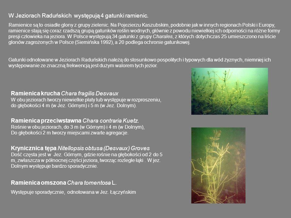 Spośród gatunków rzadkich w skali kraju w Jeziorach Raduńskich występują: Zamętnica błotna Zannichelia palustris (w środkowej części Jez.