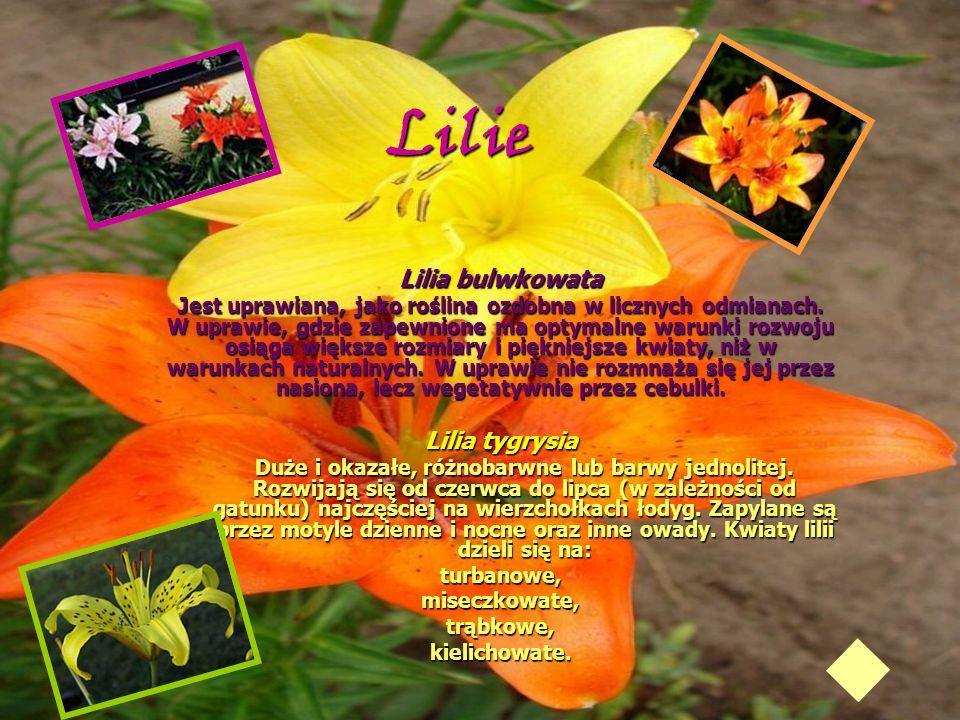 Lilie Lilia bulwkowata Jest uprawiana, jako roślina ozdobna w licznych odmianach. W uprawie, gdzie zapewnione ma optymalne warunki rozwoju osiąga więk