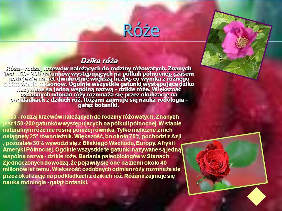 Róże Dzika róża Róża– rodzaj krzewów należących do rodziny różowatych. Znanych jest 150- 200 gatunków występujących na półkuli północnej, czasem podaj