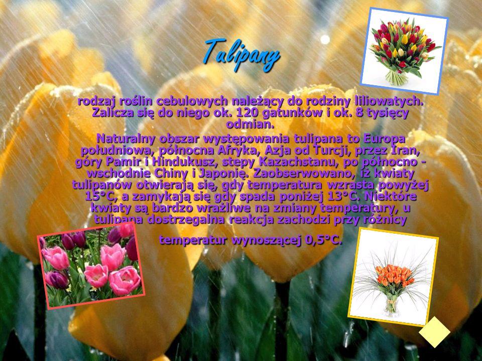 Tulipany rodzaj roślin cebulowych należący do rodziny liliowatych. Zalicza się do niego ok. 120 gatunków i ok. 8 tysięcy odmian. Naturalny obszar wyst