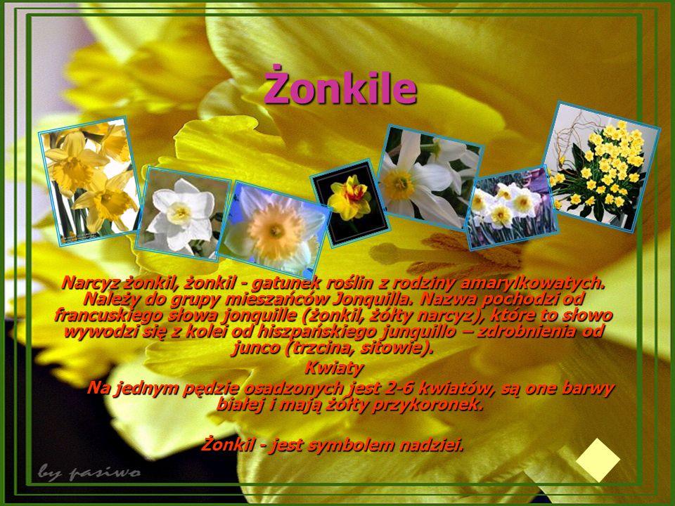 Żonkile Narcyz żonkil, żonkil - gatunek roślin z rodziny amarylkowatych. Należy do grupy mieszańców Jonquilla. Nazwa pochodzi od francuskiego słowa jo