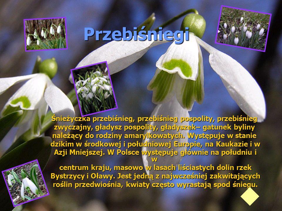 Przebiśniegi Śnieżyczka przebiśnieg, przebiśnieg pospolity, przebiśnieg zwyczajny, gładysz pospolity, gładyszek– gatunek byliny należący do rodziny am