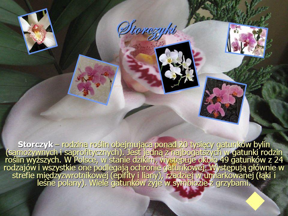 Storczyki Storczyk – rodzina roślin obejmująca ponad 20 tysięcy gatunków bylin (samożywnych i saprofitycznych). Jest jedną z najbogatszych w gatunki r