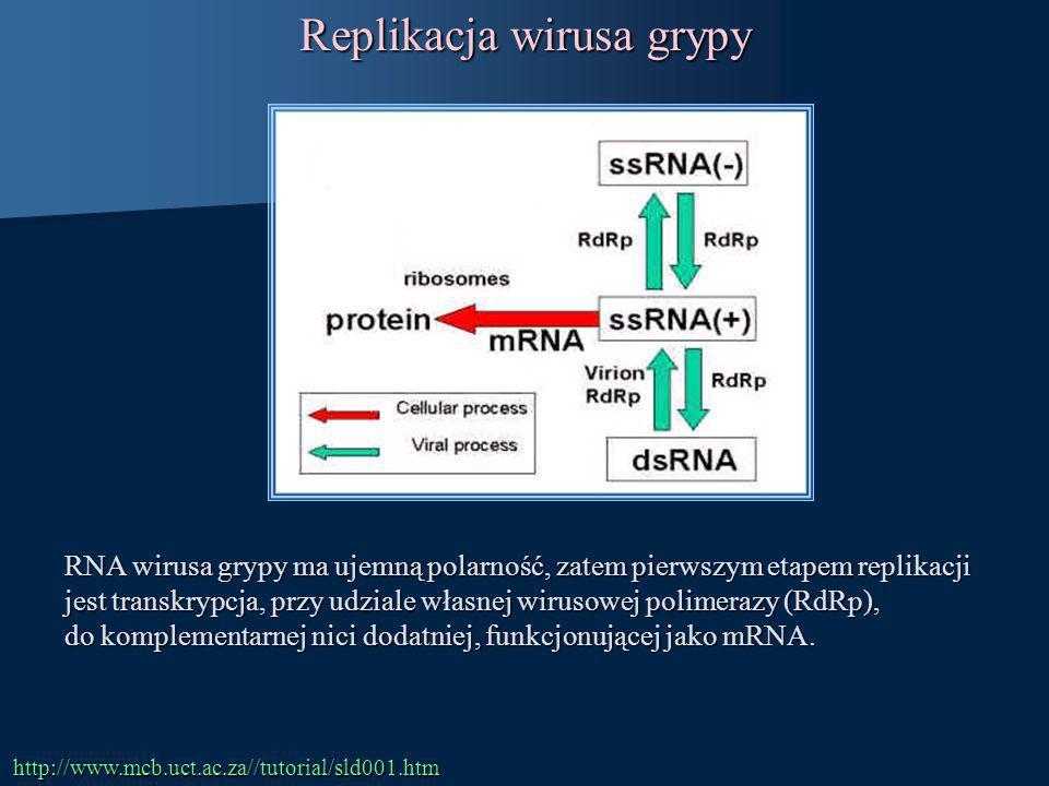 RNA wirusa grypy ma ujemną polarność, zatem pierwszym etapem replikacji jest transkrypcja, przy udziale własnej wirusowej polimerazy (RdRp), do komple