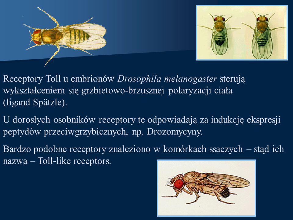 Receptory Toll u embrionów Drosophila melanogaster sterują wykształceniem się grzbietowo-brzusznej polaryzacji ciała (ligand Spätzle). U dorosłych oso