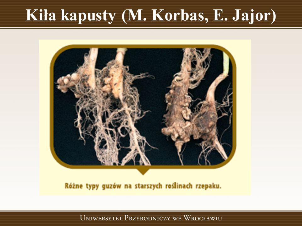 Kiła kapusty (M. Korbas, E. Jajor)