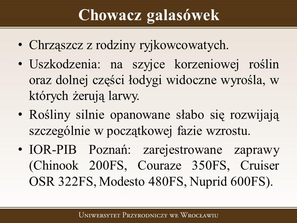 Chowacz galasówek Chrząszcz z rodziny ryjkowcowatych. Uszkodzenia: na szyjce korzeniowej roślin oraz dolnej części łodygi widoczne wyrośla, w których