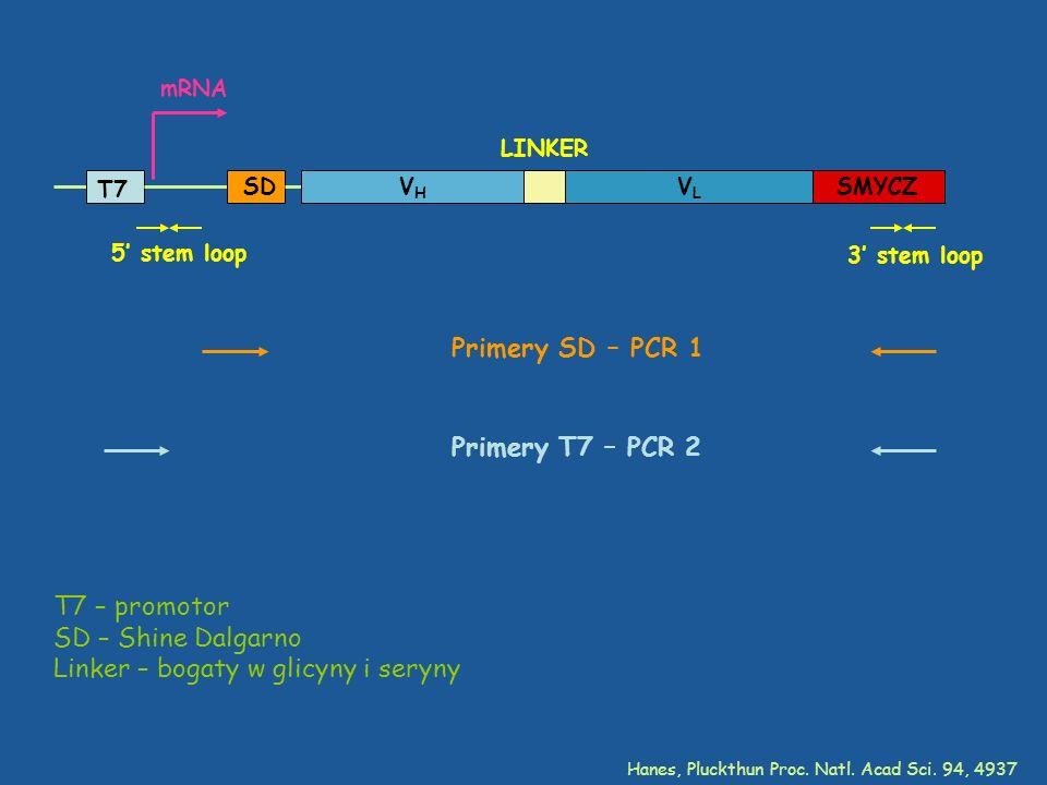 T7 SD VHVH VLVL LINKER SMYCZ mRNA T7 – promotor SD – Shine Dalgarno Linker – bogaty w glicyny i seryny 5 stem loop 3 stem loop Primery SD – PCR 1 Prim