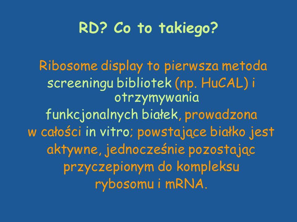 RD? Co to takiego? Ribosome display to pierwsza metoda screeningu bibliotek (np. HuCAL) i otrzymywania funkcjonalnych białek, prowadzona w całości in