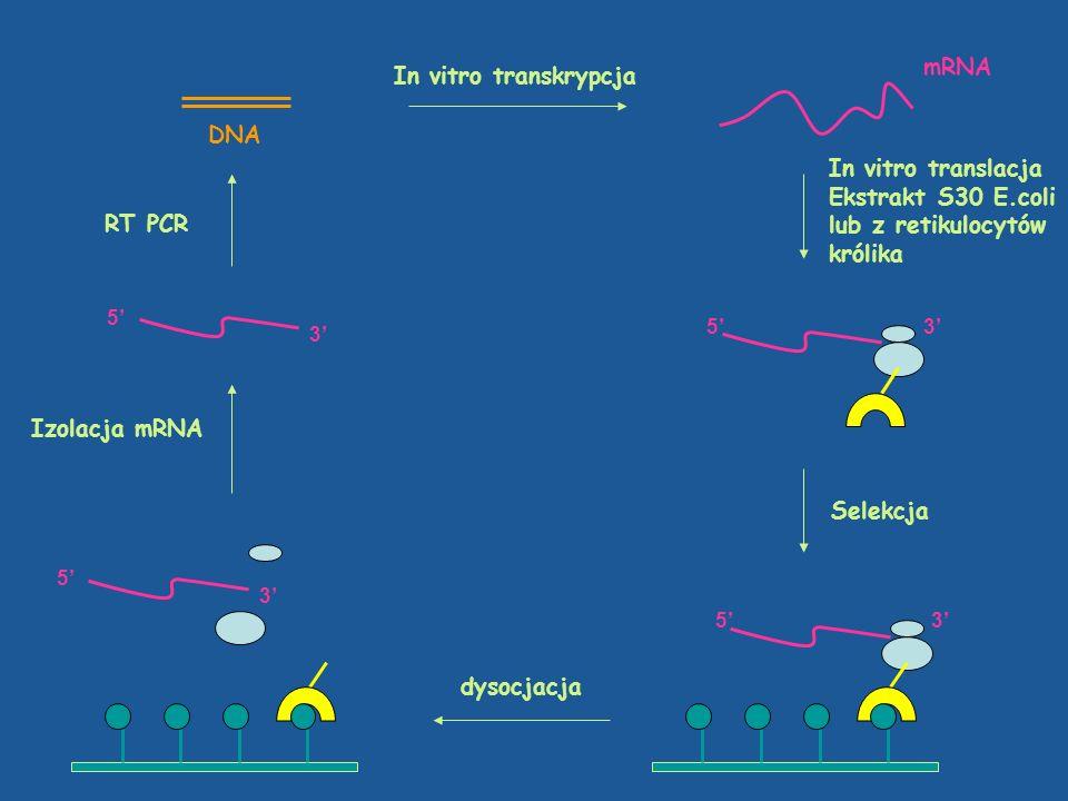 DNA In vitro transkrypcja mRNA In vitro translacja Ekstrakt S30 E.coli lub z retikulocytów królika 3 5 Selekcja 3 5 3 5 dysocjacja 3 5 Izolacja mRNA R